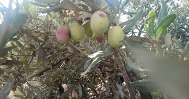 صورة ننشر التوصيات الفنية لمزارعى الزيتون خلال شهر مايو
